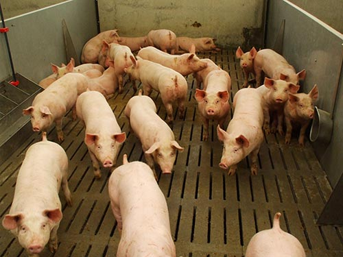 pig slats